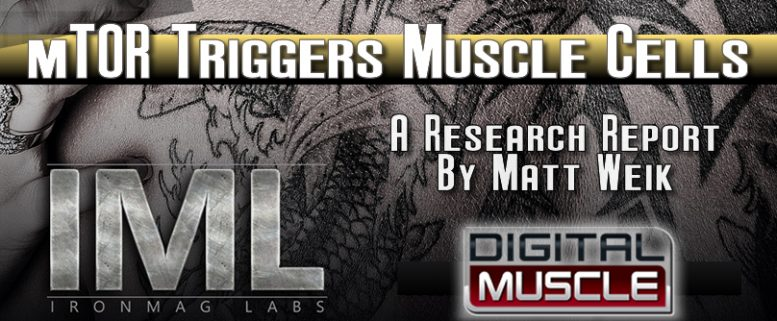 mTor triggers muscle cells